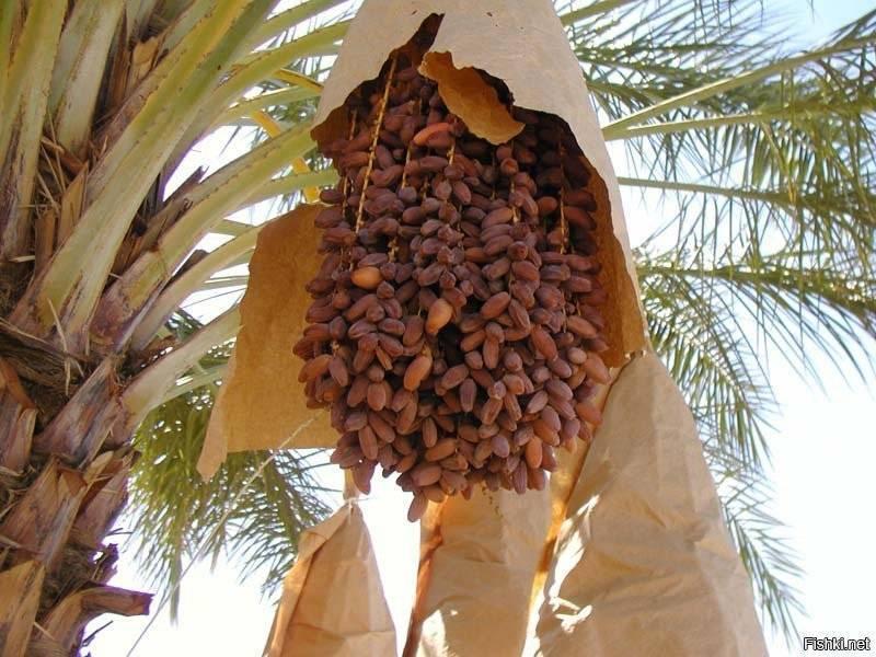 Комнатная финиковая пальма: посадка и уход в домашних условиях