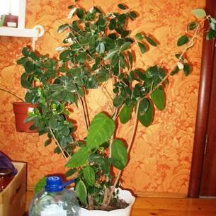Фейхоа выращивание в домашних условиях — 130 фото и видео инструкции по уходу и размножению дерева