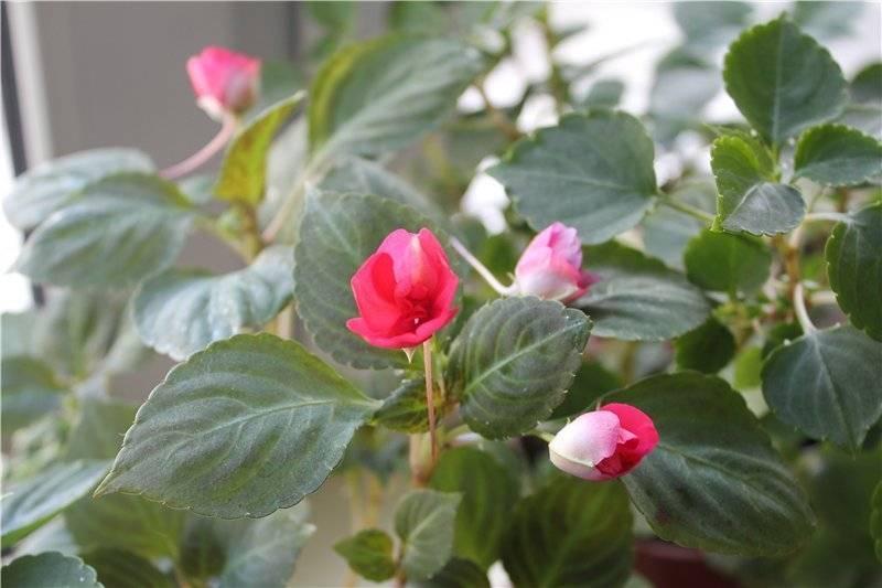 Бальзамин - комнатный цветок: родина, описание, фото