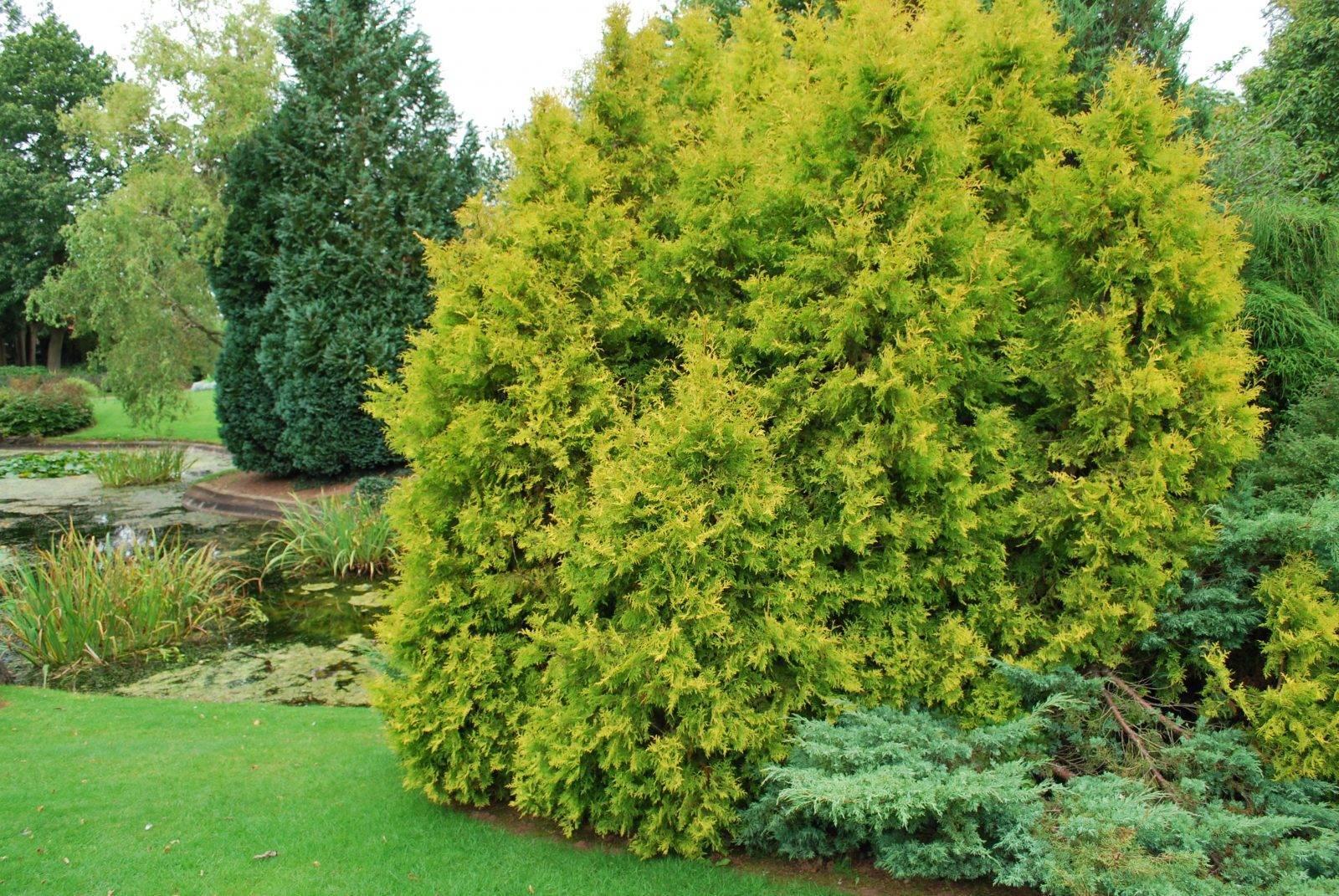 Даника: вид туи западной, размеры, посадка, уход и выращивание в саду