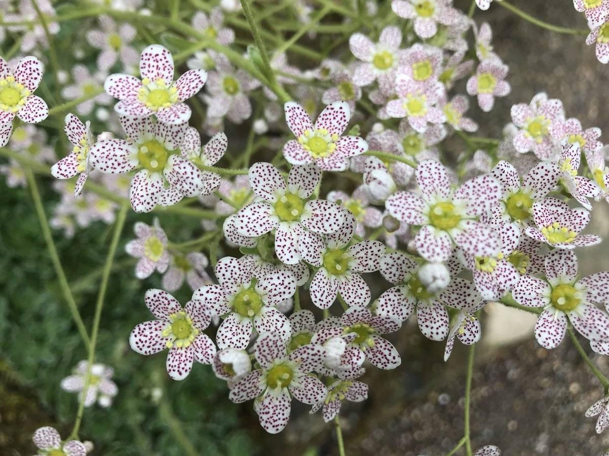 Камнеломка: фото цветка, описание и распространенные виды
