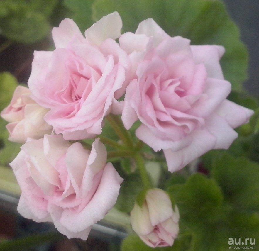 Уход за розебудной пеларгонией в домашних условиях: сорта, размножение семенами