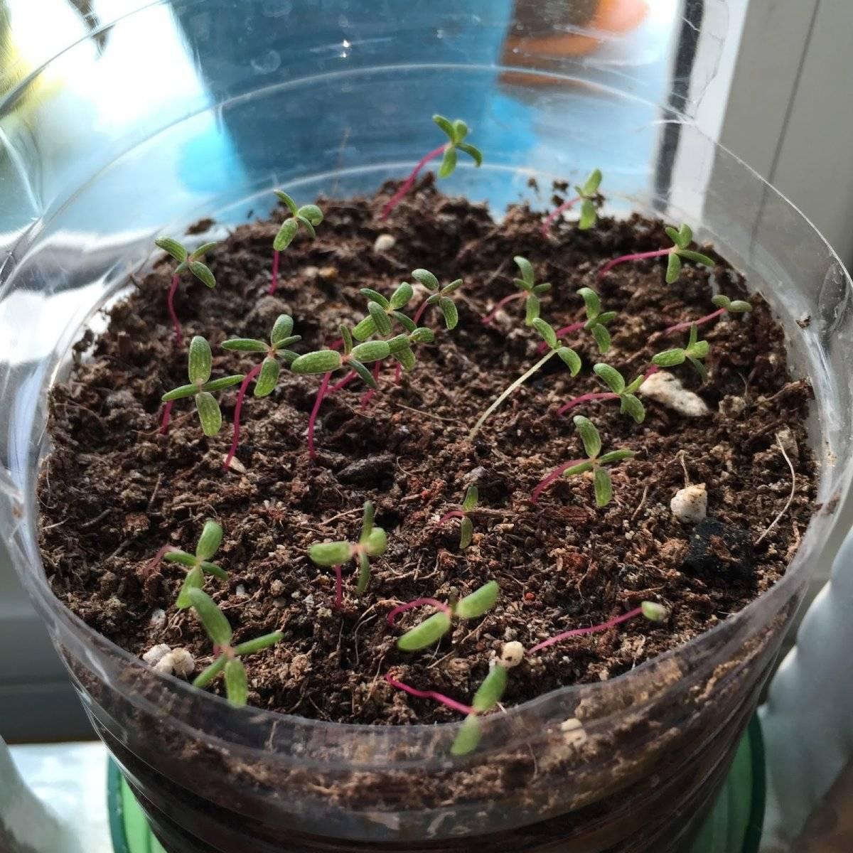 Гортензия: выращивание из семян