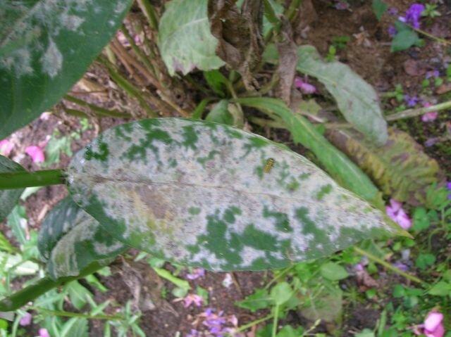 Как избавиться от мучнистой росы на флоксах?