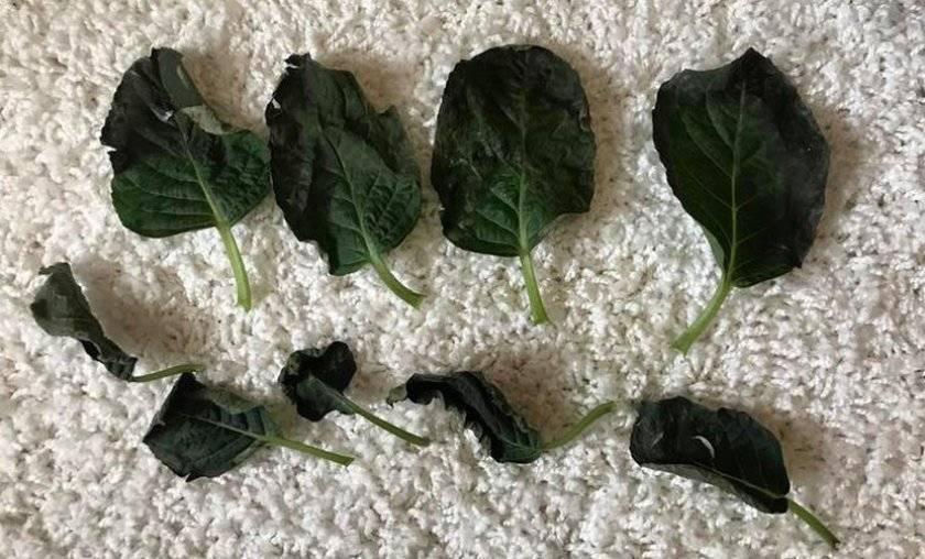 У гортензии чернеют и сохнут листья