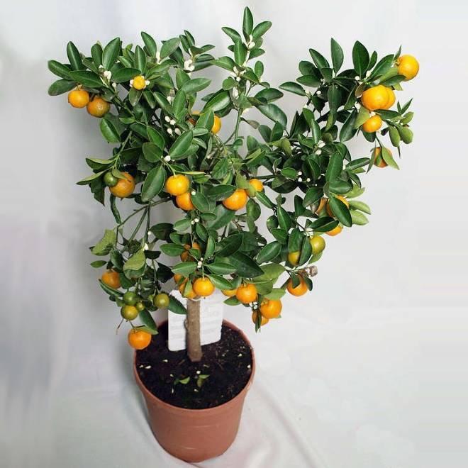 Выращивание и размножение цитрофортунеллы в домашних условиях