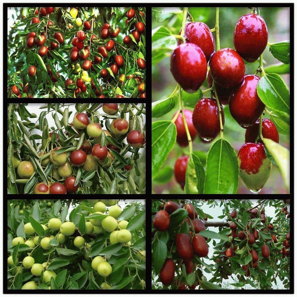 Унаби дерево жизни или китайский финик зизифус, посадка и уход в средней полосе, описание сортов, выращивание в открытом грунте осенью из косточки