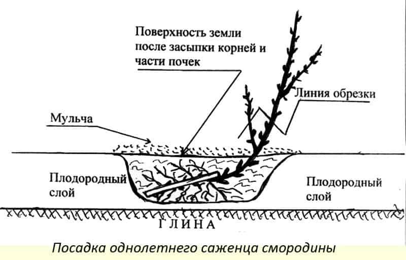 Мискантус посадка и уход в открытом грунте фото в ландшафтном дизайне виды и сорта с описанием