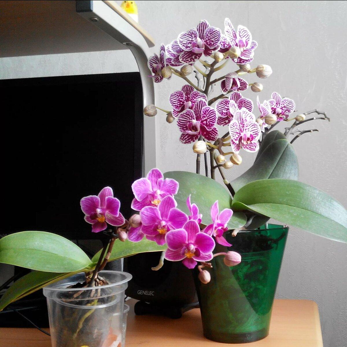 Орхидея фаленопсис: уход в домашних условиях, правила выращивания