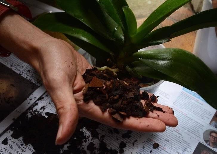 Уход за орхидеями во время цветения в домашних условиях: пересадка, полив