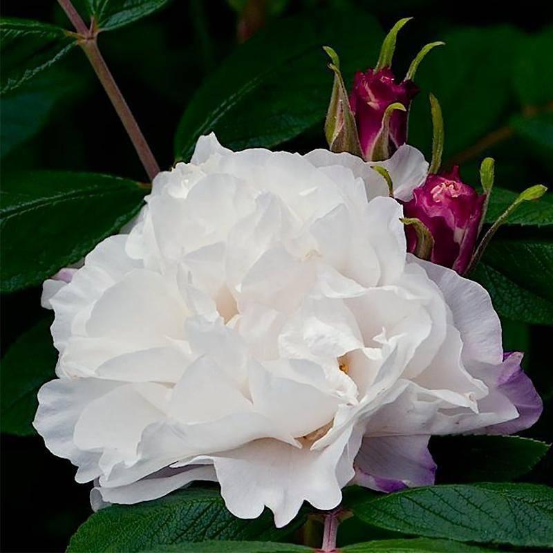 Выращивание парковой розы сорта робуста: как посадить и ухаживать за кустарником