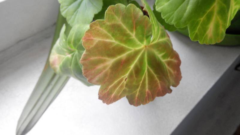 Что делать, если скручиваются листья у герани? почему у комнатной пеларгонии закручиваются вниз листья? способы устранения причин