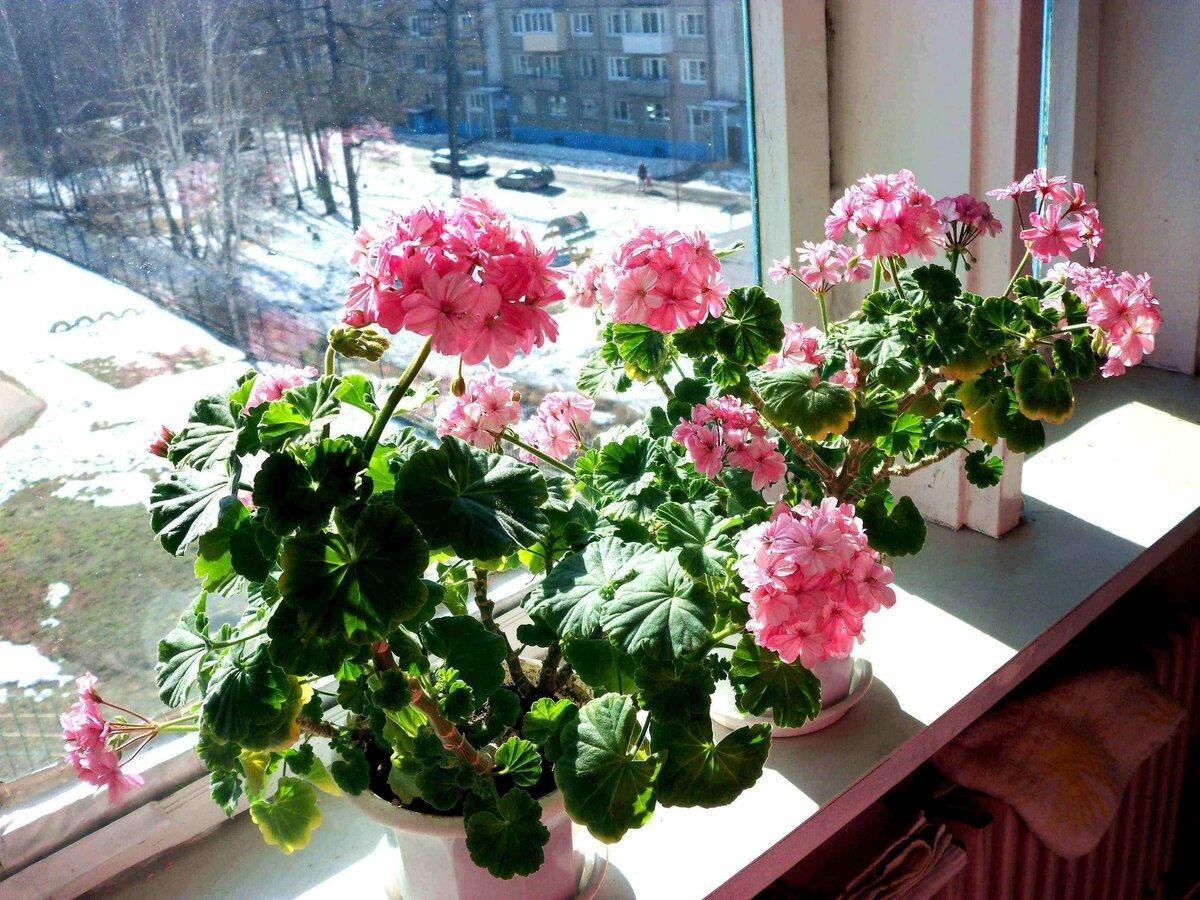 Как ухаживать за геранью в горшке в домашних условиях, чтобы цвела: советы начинающим, фото растения, также правильно ли часто поливать и можно ли реанимировать?