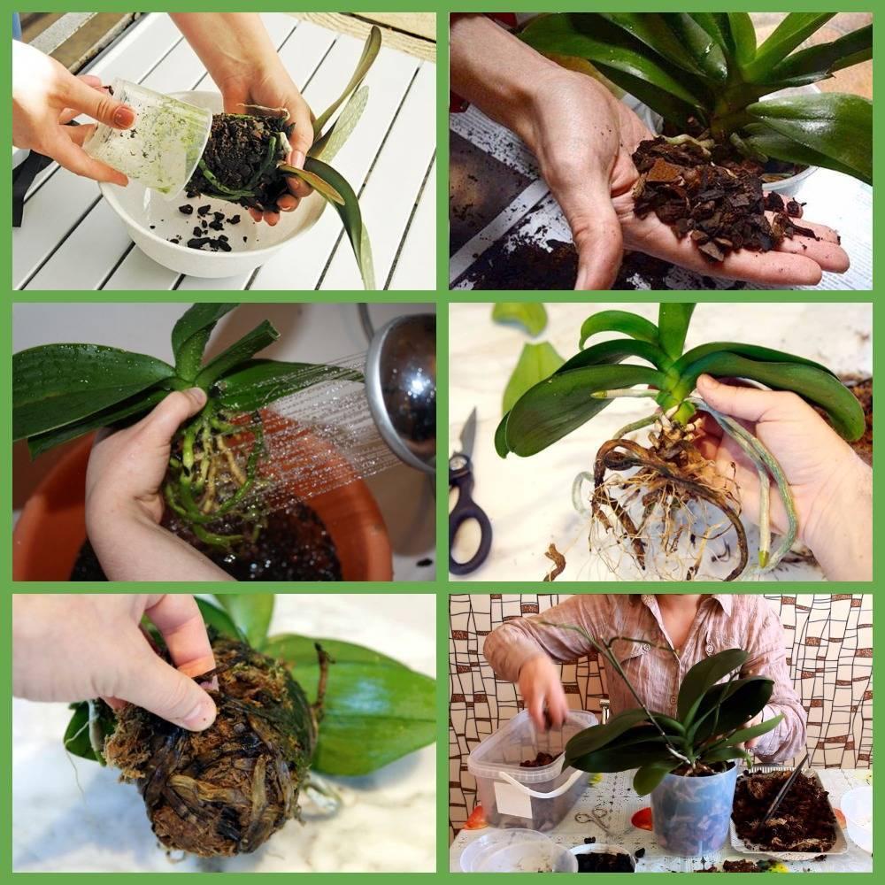 Много цветов не бывает, или как правильно пересадить детку орхидеи в домашних условиях?