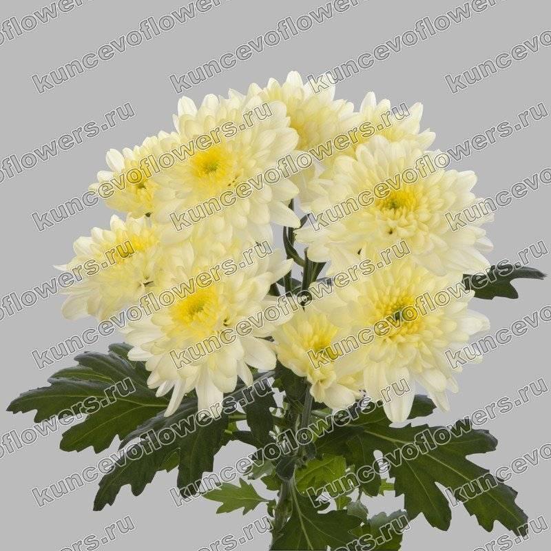 Хризантема индийская выращивание из семян