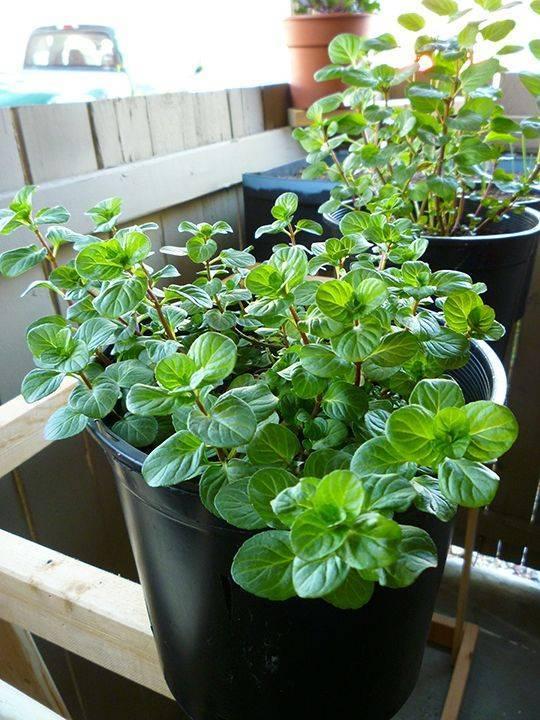 Мята перечная: биологические основы выращивания