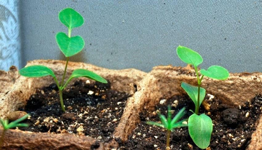 Выращивание гортензий из семян в домашних условиях: как посадить на рассаду