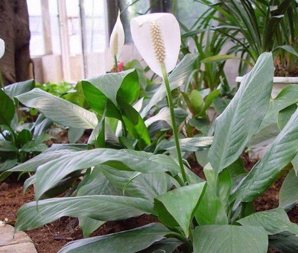 Спатифиллум: уход в домашних условиях, почему сохнет, желтеет, чернеет и не цветет