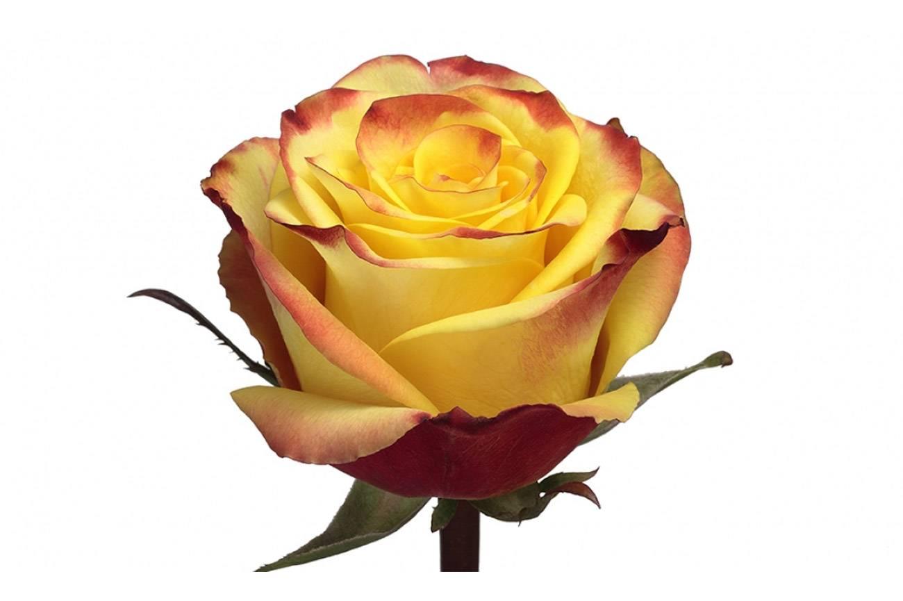 6 типов роз: описание и уход. какие розы посадить в саду? какие розы посадить на участке - советы
