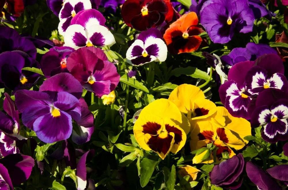 Виола: выращивание из семян на рассаду - 3 лучших способа!