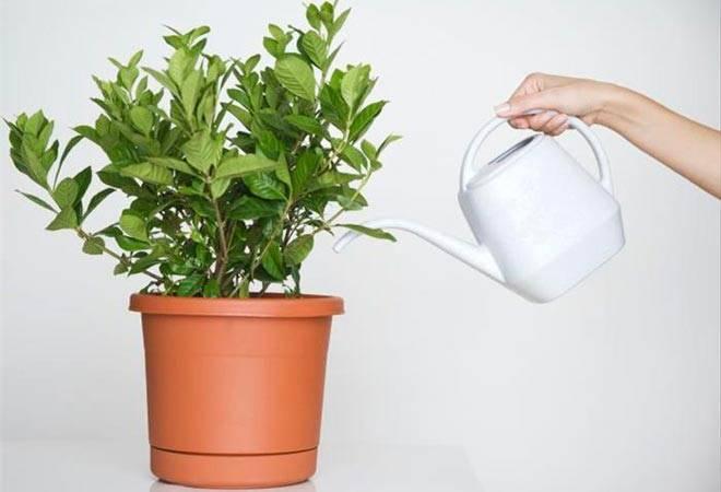 Выращивание фикуса наташа в домашних условиях: как посадить, ухаживать, удобрять