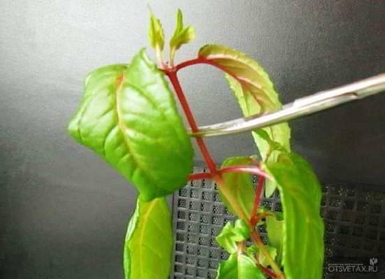 Фуксия ампельная (33 фото): выращивание, посадка на улице и уход в домашних условиях. сорта. как обрезать и сохранить зимой?
