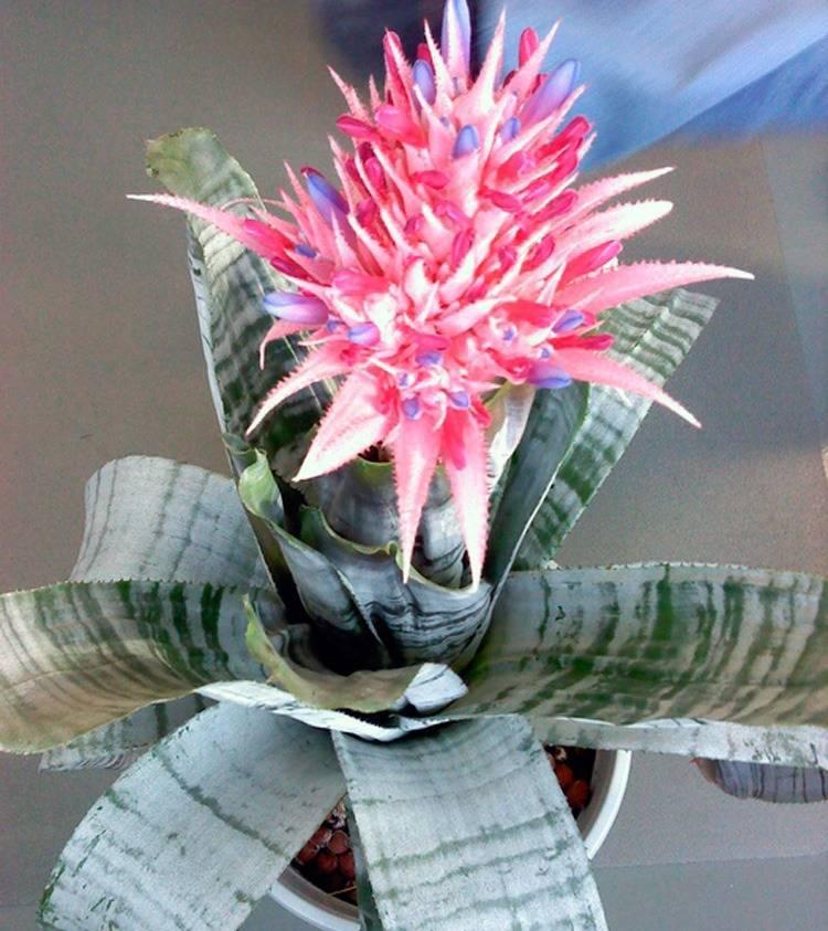 Домашний цветок эхмея— основы ухода для обильного цветения