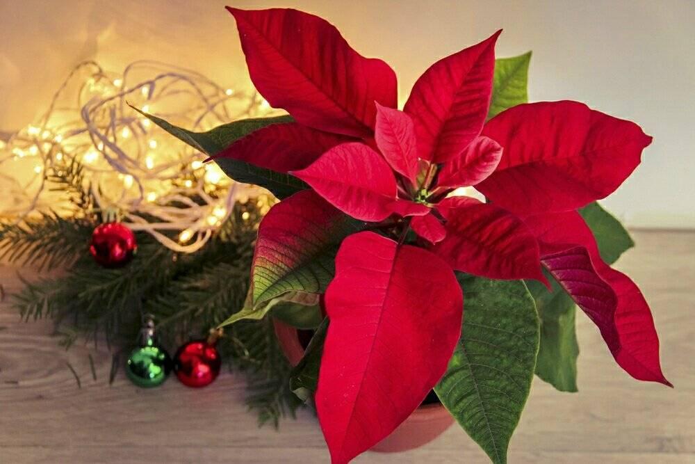 """""""рождественская звезда"""" – как ухаживать за пуансеттией дома"""