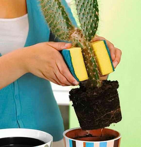 Как пересадить кактус в другой горшок в домашних условиях