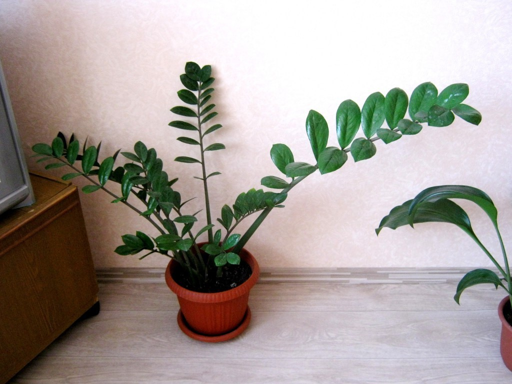 Как размножить замиокулькас в домашних условиях: как рассадить долларовое дерево