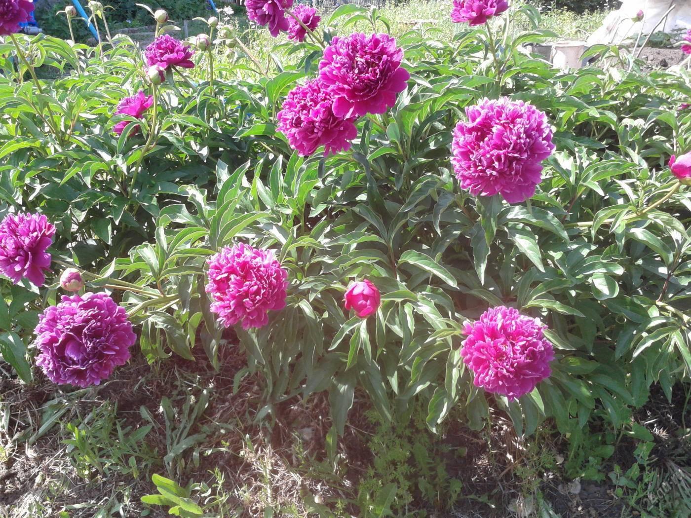 Обзор 12 сортов молочноцветковых пионов