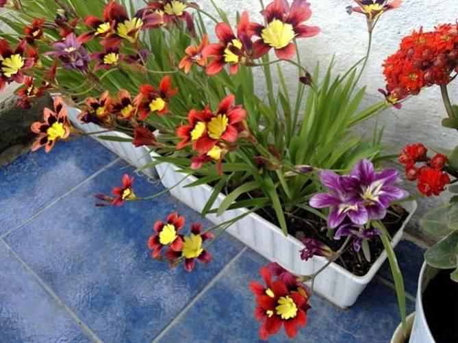 Спараксис: особенности посадки, ухода и размножения в домашних условиях