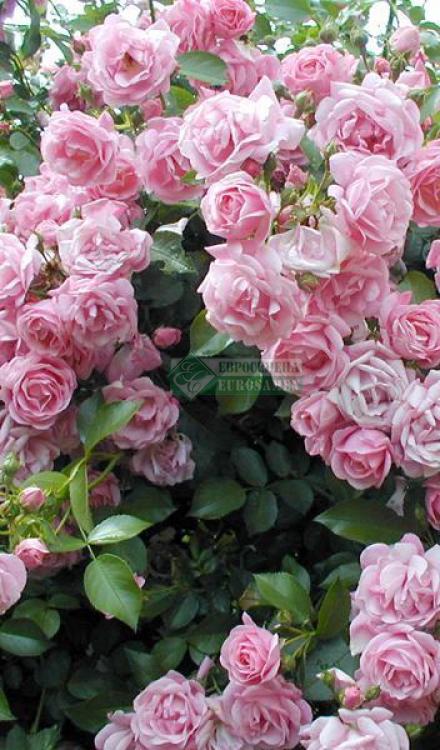 Плетистые розы - описание. классификация, особенности выращивания | о розе