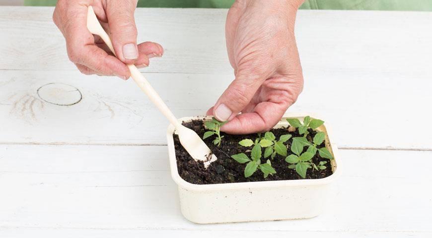 Годеция: посадка и уход, выращивание из семян в саду