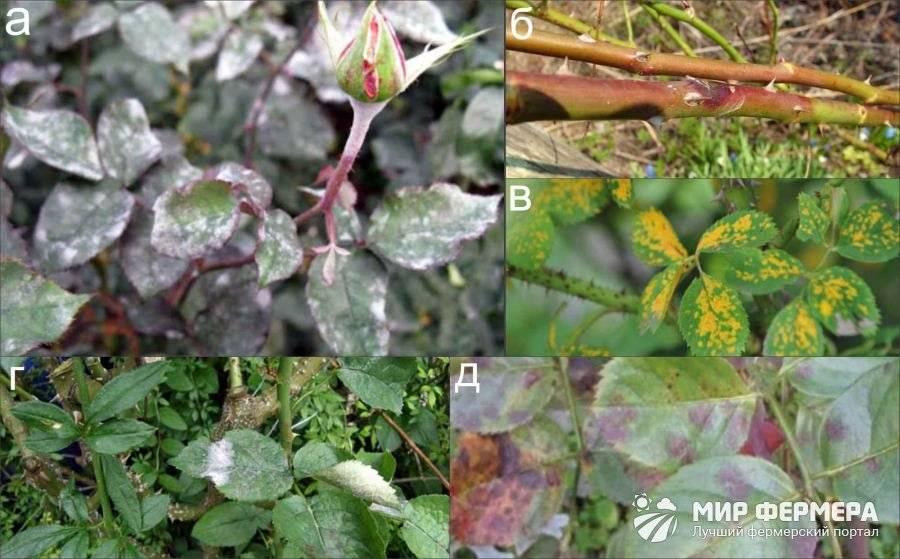 Какие бывают болезни садовых роз и их лечение