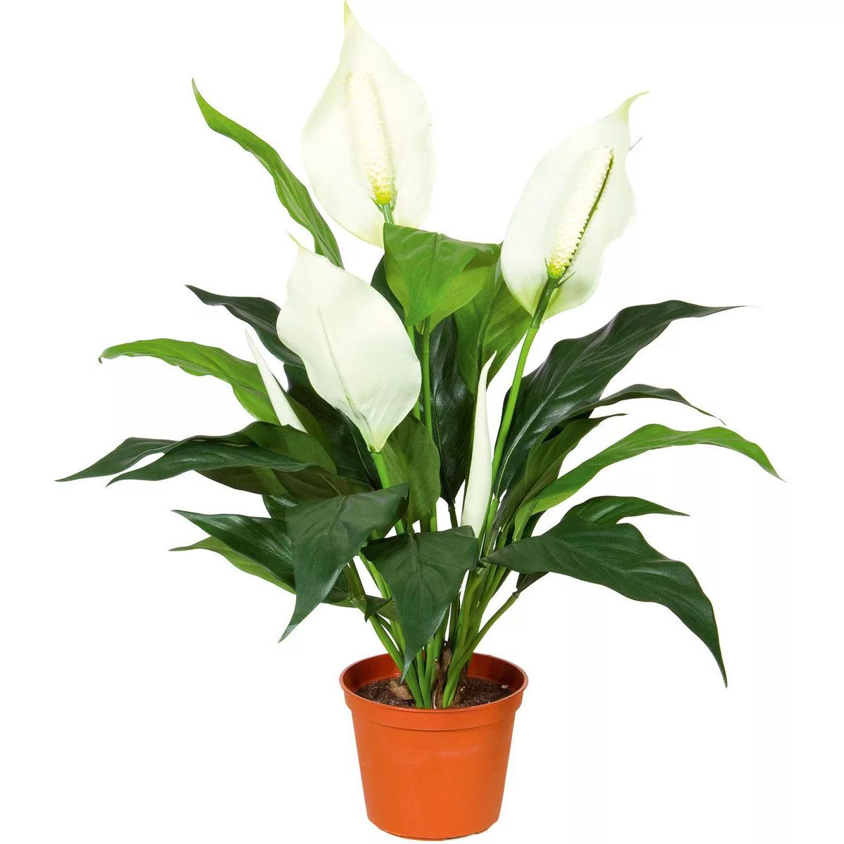 Цветок спатифиллум картинка