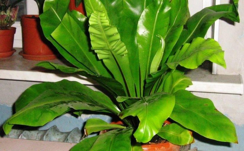 Цветок асплениум — уход в домашних условиях