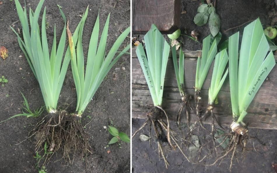 Как правильно рассадить луковицы нарциссов и в какое время это нужно делать