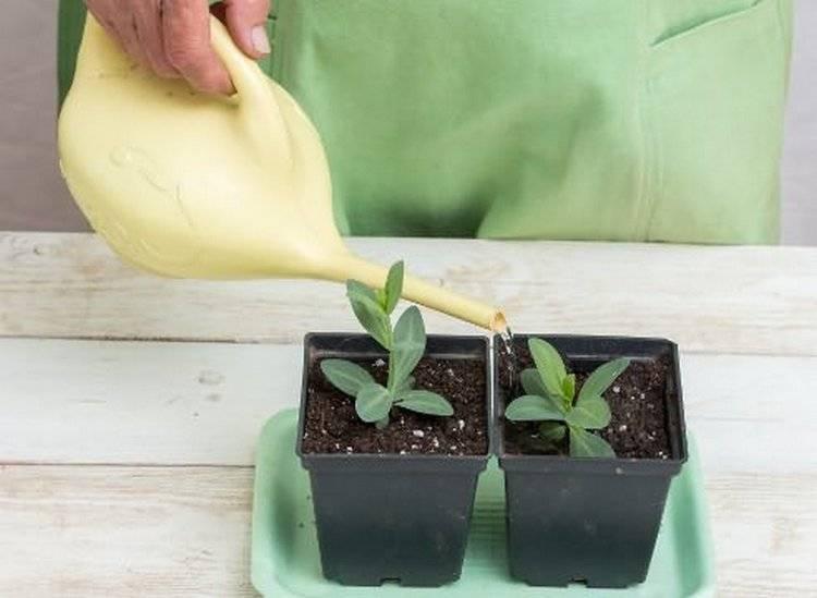 Эустома: выращивание из семян в домашних условиях