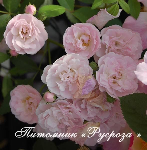 Роза балерина (ballerina) и другие мускусные сорта с описанием