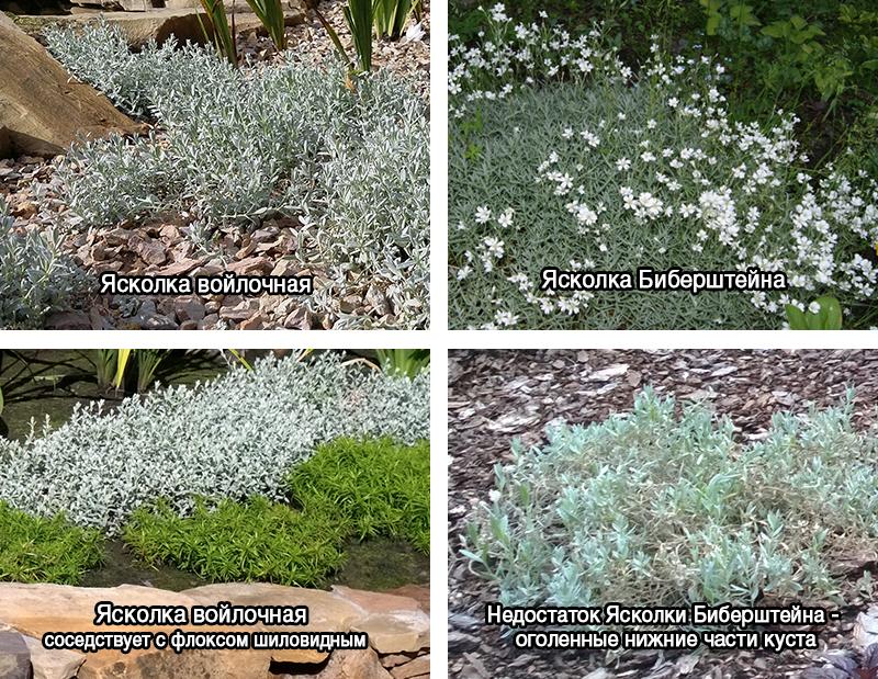 Ясколка: посадка и уход, выращивание, размножение, фото, описание - читайте на орхис