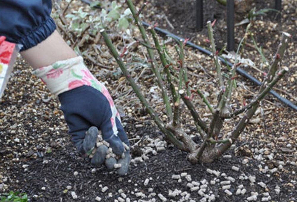 Чем подкормить клематисы весной? подкормка клематисов в мае для пышного цветения в саду. чем удобрять после зимы для роста?