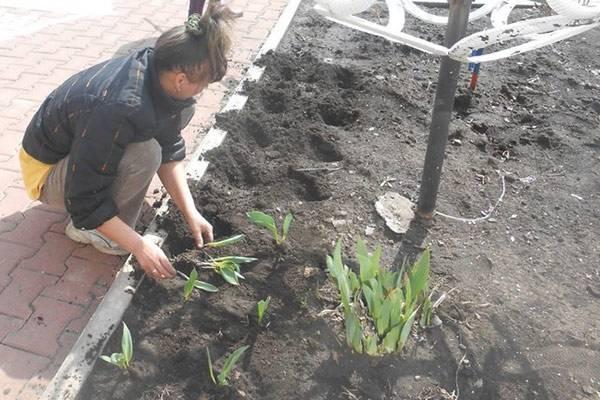 Когда выкапывать тюльпаны