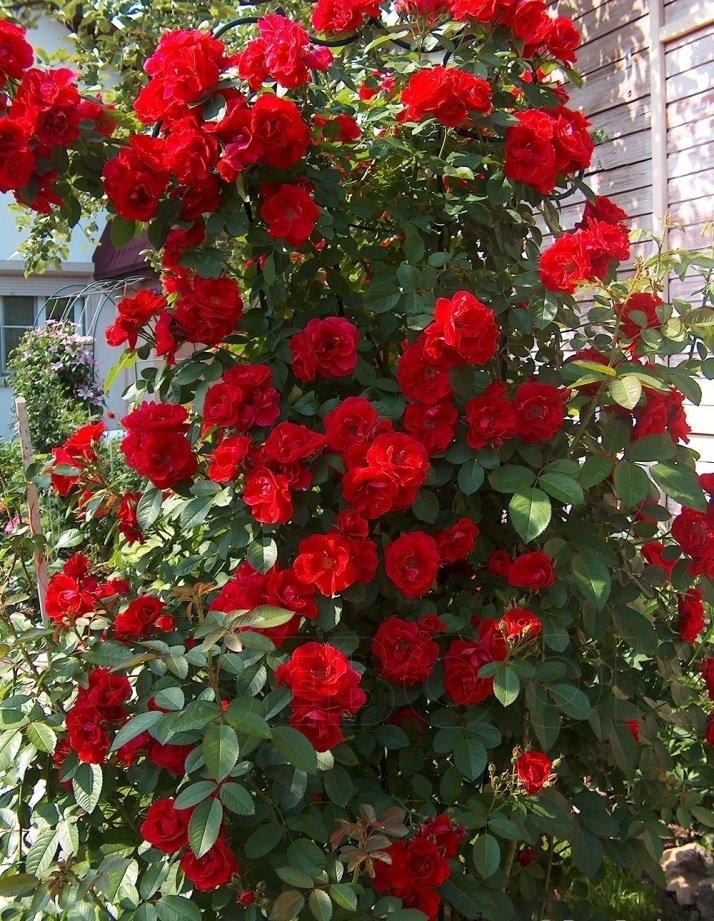Обрезка роз после первого цветения в течении лета: как правильно, чтобы снова зацвели
