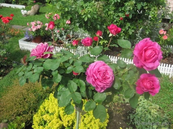 Роза хайди клум