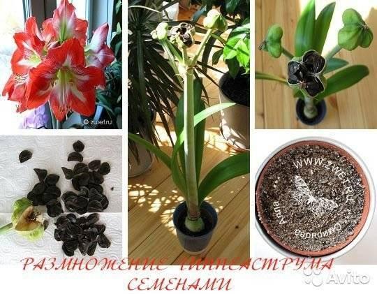Амариллис — уход за цветком в домашних условиях, посадка и выращивание ?