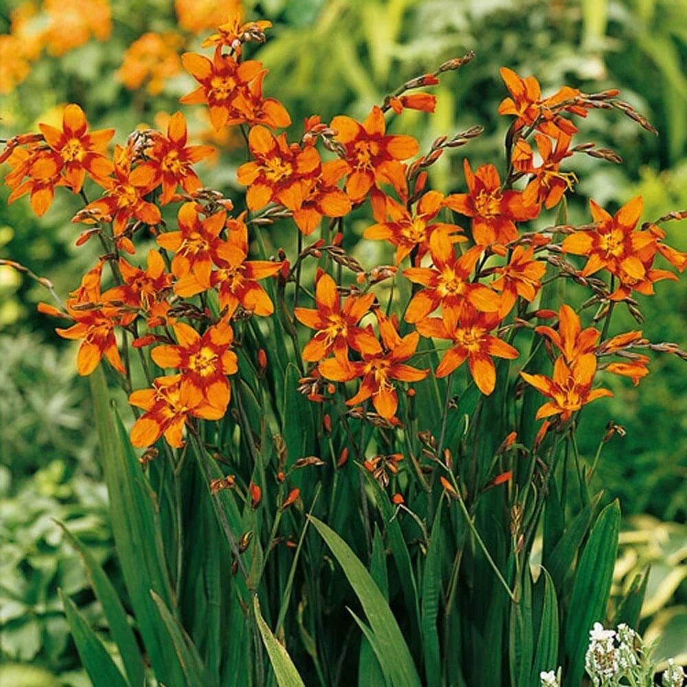 Цветы крокосмия: посадка и уход, выращивание в открытом грунте