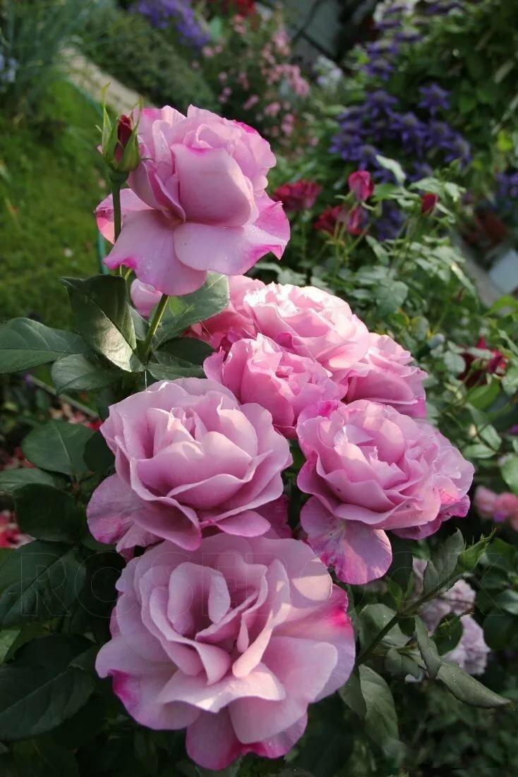 Все о розе муди блюз: выращивание, посадка и уход за moody blues в саду