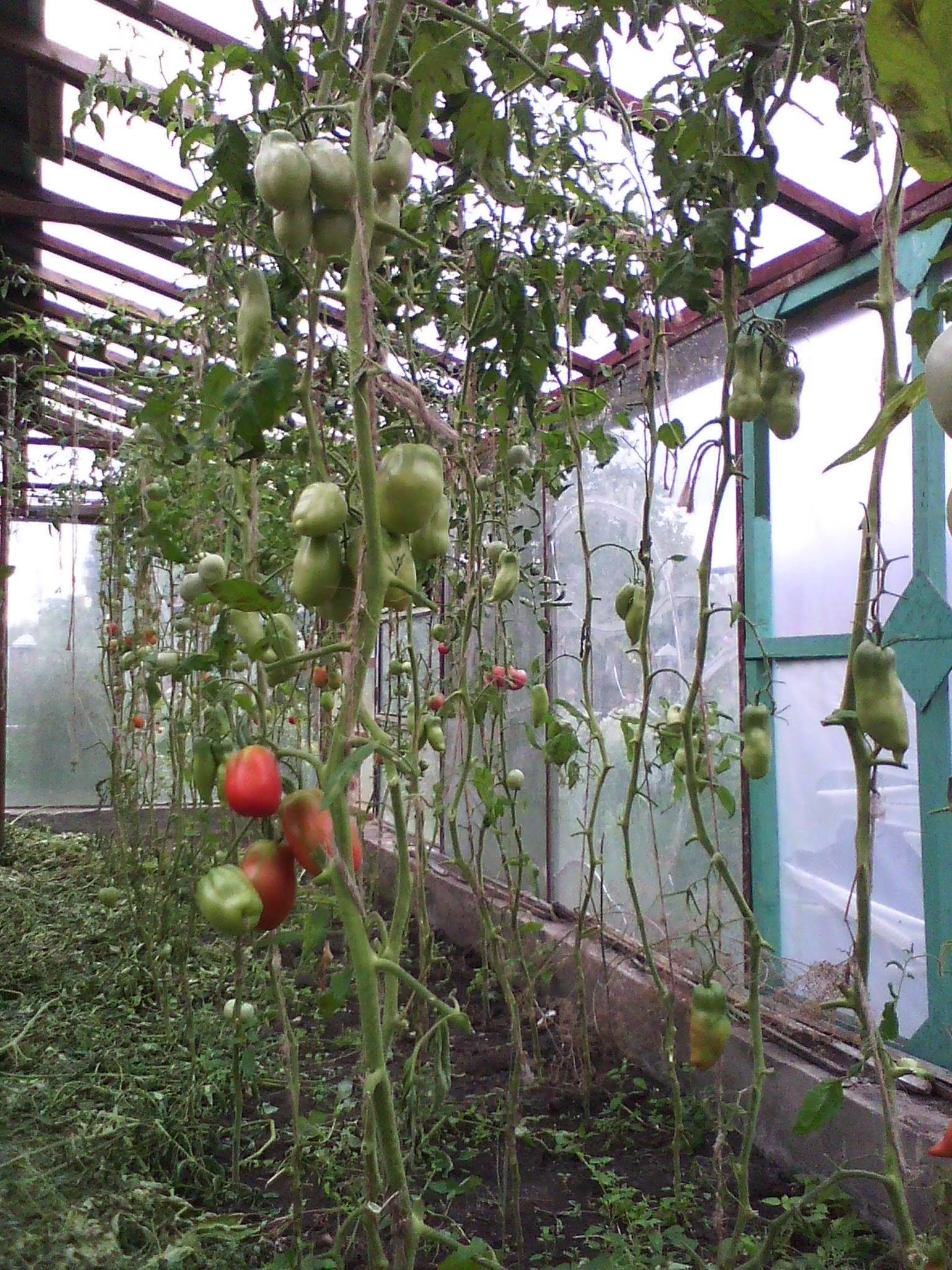 Формирование куста томатов в теплице. выращивание томатов, уход, полив