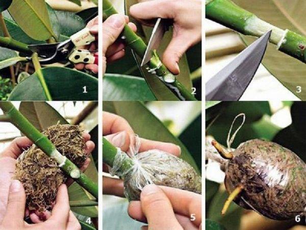 Размножение фикуса в домашних условиях: черенками или листом?